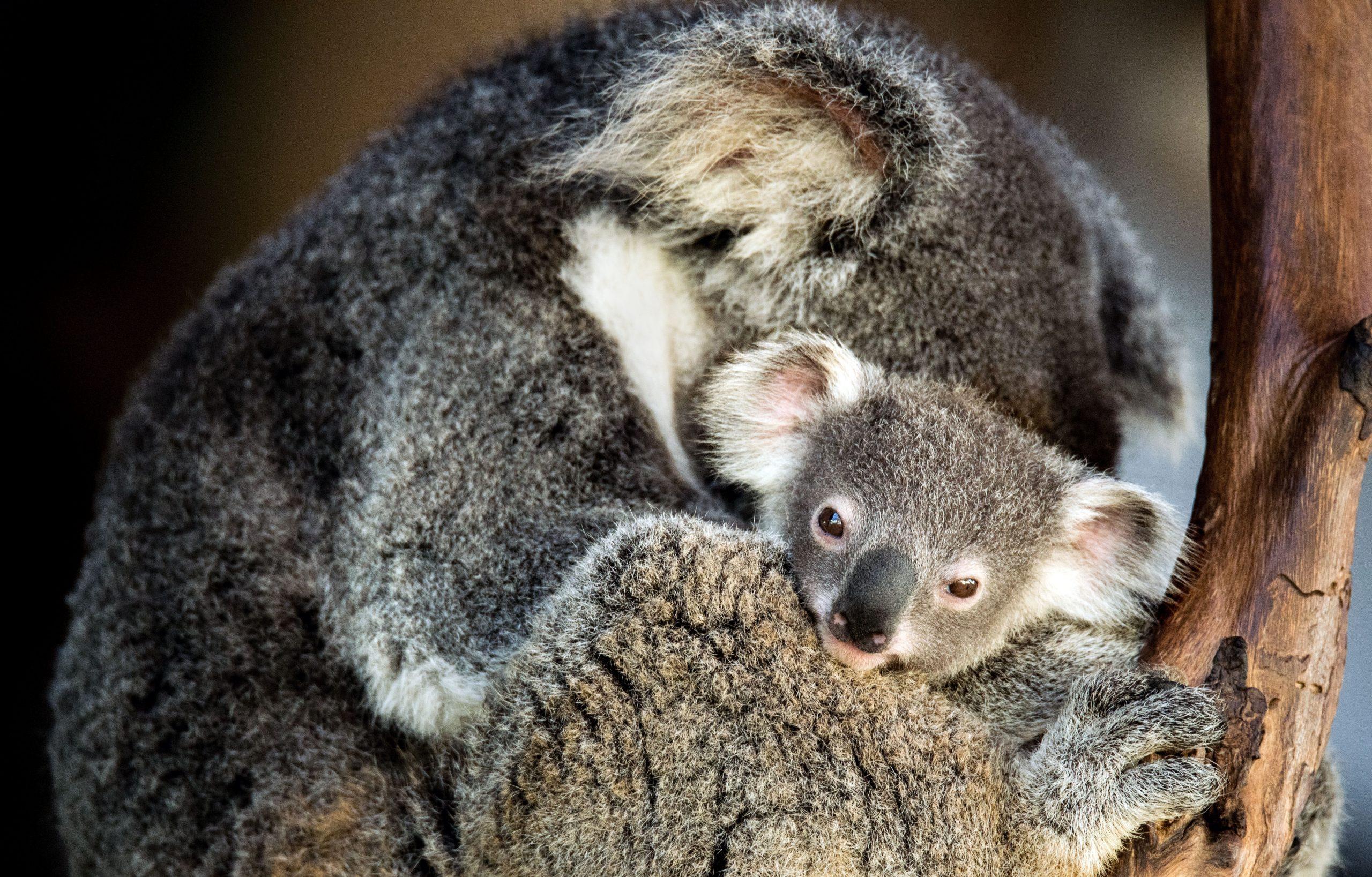 I Koala…funzionalmente estinti?